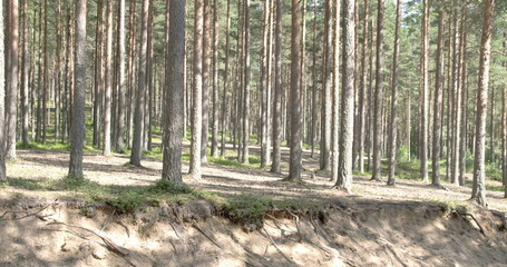 The beautiful trail of the pine trees in the forest