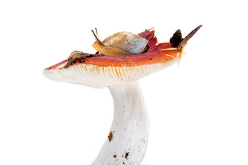 Snail on the mushroom Russula