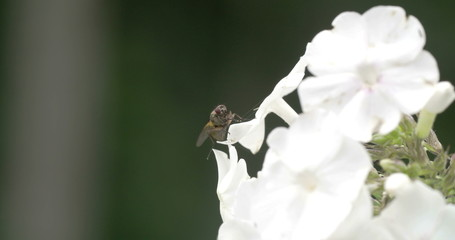 A fly on the edge of the white flower