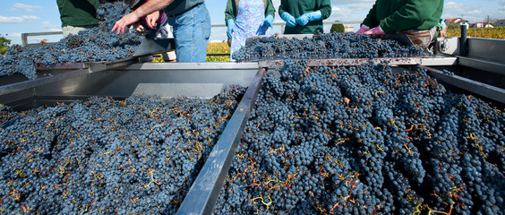 Harvest in the vineyards of Bordeaux, France