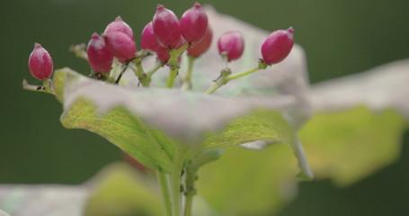 Red guelder rose flower plant
