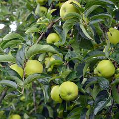 vollbehangener Apfelbaum