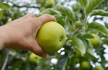 Hand erntet einen Apfel