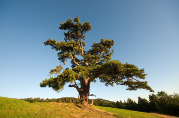 Lonely Pine in Kamena Gora, Serbia