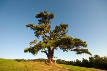 Lonely Pine in Kamena Gora, Serbia