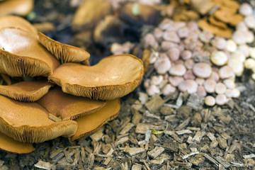 Wild Mushrooms growing in Woodland