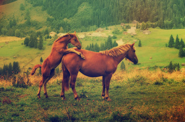 Bay horses playing in the mountains