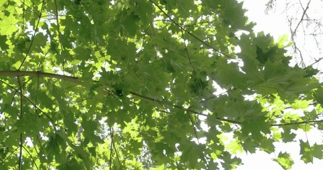 Lots of green maple leaves from the tree