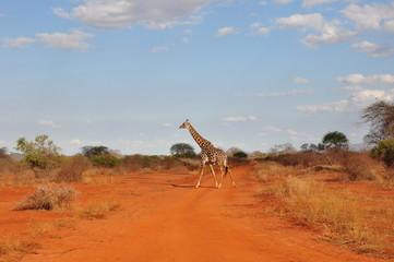 Giraffe on Red Road