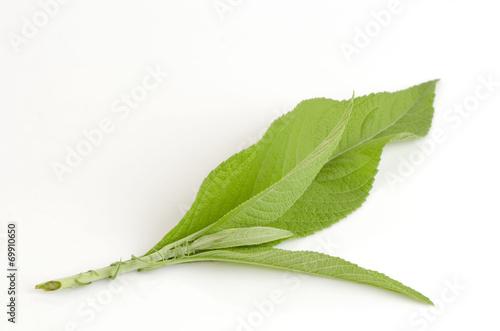 Leinwanddruck Bild Ngai Camphor isolated on white background