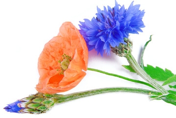 poppy flowers  and cornflower isolated on white