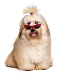 Happy reddish Havanese dog is wearing a funny red sunglasses