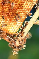 Pszczoły na plastrze miodu w pasiece