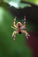 Araignée équilibriste