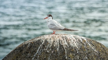 Relaxed seagull on a stone near the shore