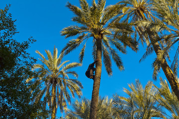 A worker climbing on a palm tree at  Tozeur, Tunisia