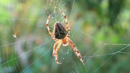 Hektische Kreuzspinne im Netz mit Beute