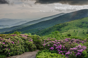 Rhododendron Garden with Foggy Roan Mountain