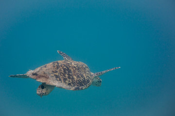 Hawksbill Sea Turtle Swimming Down