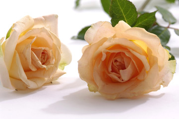 Two orange roses on a white background
