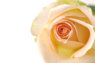 center of rose- orange