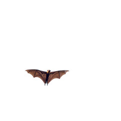 Giant fruit bat flying isolated