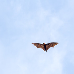Giant fruit bat flying