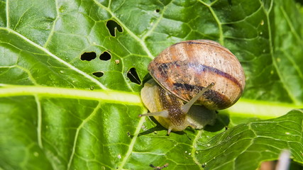 Time lapse: Snail Moving On Green Foliage