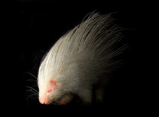 albino porcupine in the dark