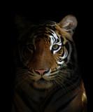 bengal tiger head