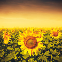 Beauty sunset over sunflowers field, environmental backgrounds