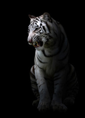 white bengal tigerin the dark