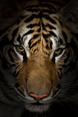 tiger face © anankkml