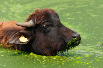 water buffalo in the water head close-up