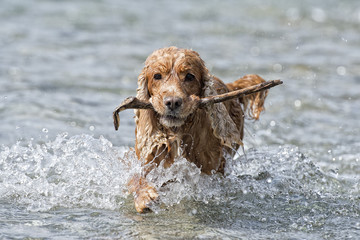 Happy Dog English cocker spaniel while running to you