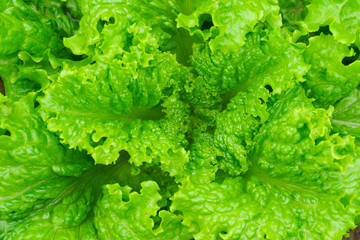 fresh lettuce leaves and heart closeup