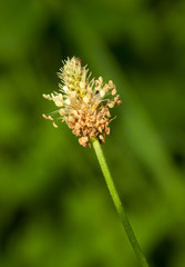 Plantain inflorescence