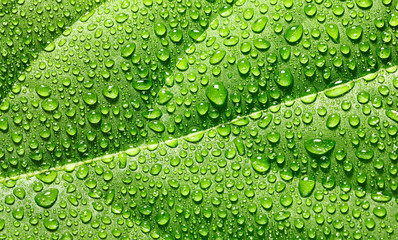 Water drops on avocado leaf