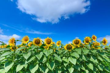Sunflowers over cloudy blue sky
