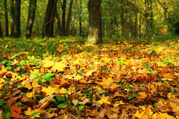 Bright colorful leaves in autumn forest.