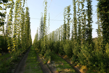 Hoppy field in the light of the evening sun.