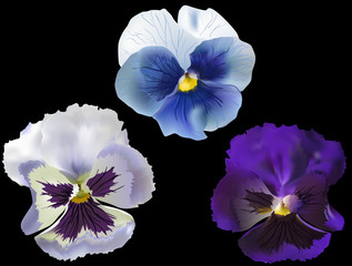 three blue garden violet blooms isolated on black
