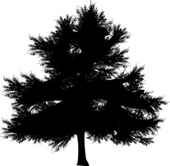 large dark fir isolated on white