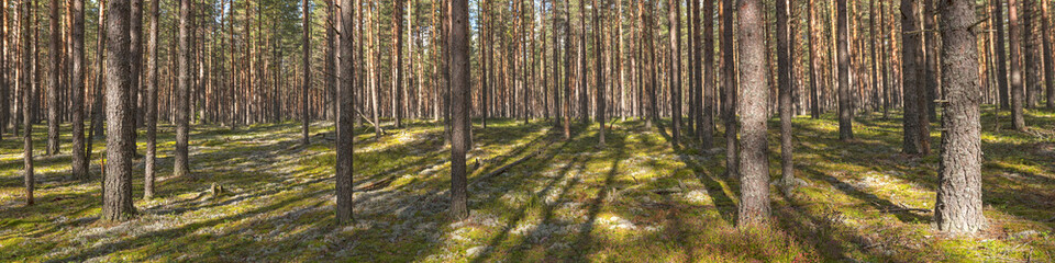 panorama of a pine forest