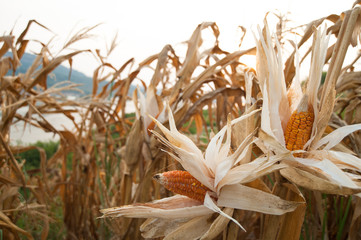 Withered Corn Field
