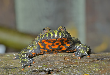 Frog (Bombina orientalis) 2