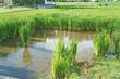 ジャンボタニシ被害の水田