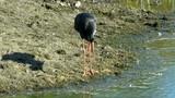 Black stork (Ciconia nigra) in zoological garden poster