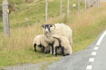 Pecora con agnelli