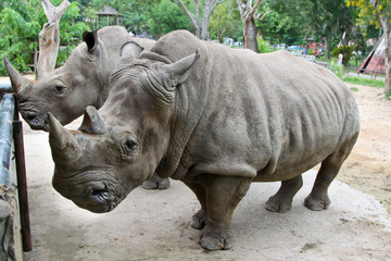 Rhino in Thailand zoo,